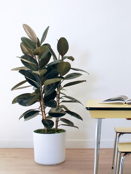 Grand Ficus Elastica - Mid-Century