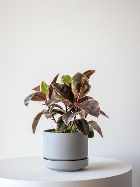 Ruby Ficus