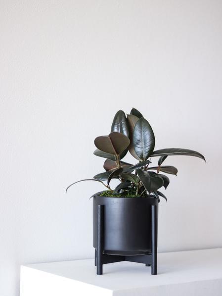 Rubber Plant - Medium