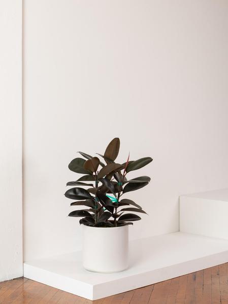 Ficus Elastica - Mid-Century