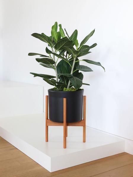 Ficus Audrey - Mid-Century