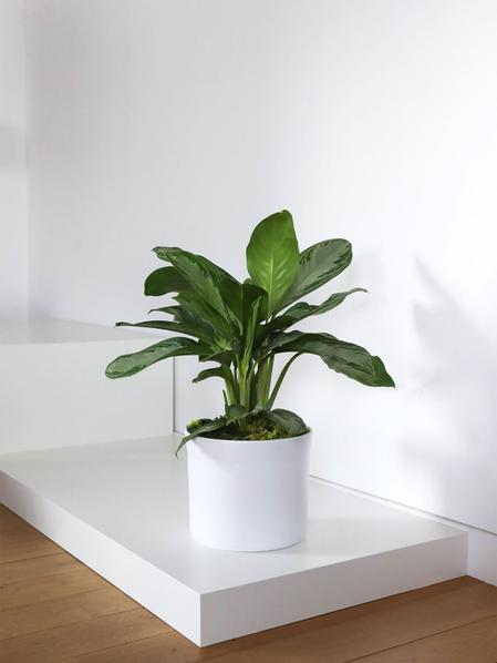 Silver Evergreen - Mid-Century