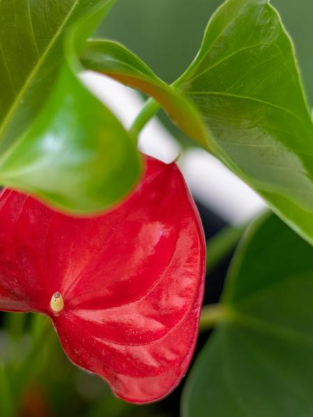 Anthurium - King of Hearts in Scandinavian - Small