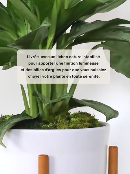 Pothos Cascade - Apple