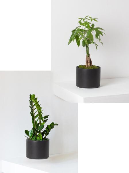 Money Tree and Zanzibar Gem Duo