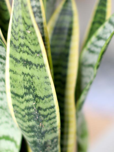 Snake Plant - Nouvelle - Medium
