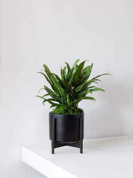Tiger Evergreen