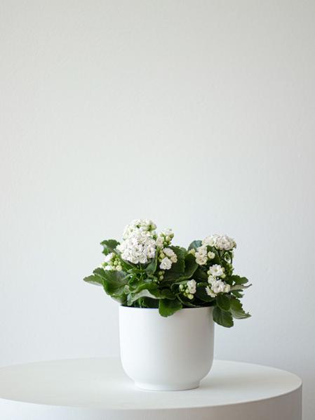 Snowdrop Calandiva - Nouvelle - Medium