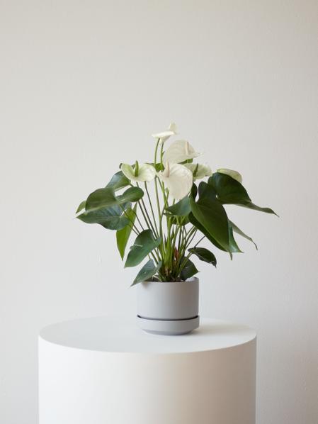 Anthurium - Queen of Spades in Scandinavian - Medium