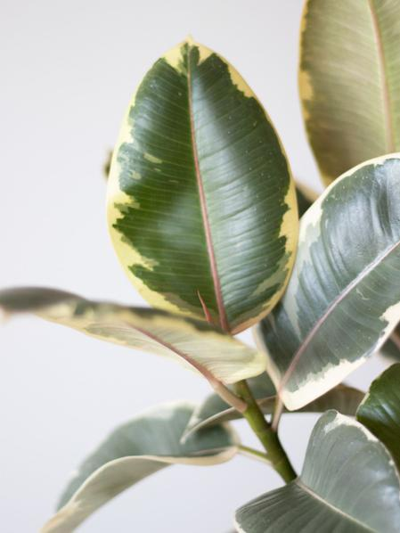 Tineke Rubber Plant