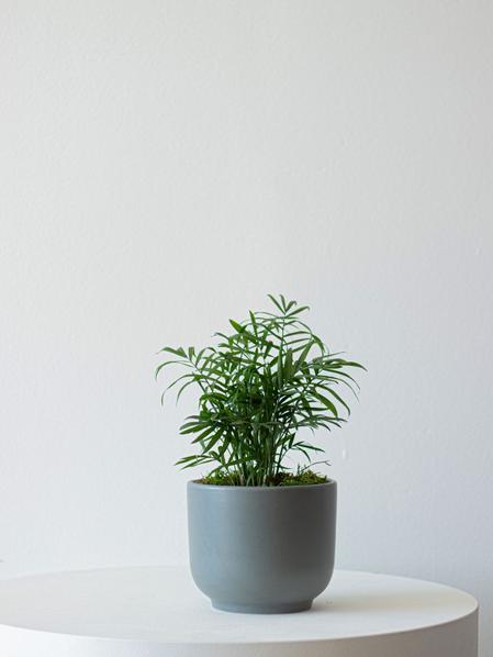 Parlor Palm - Nouvelle - Medium
