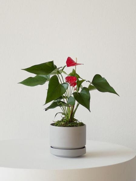 Anthurium - King of Hearts