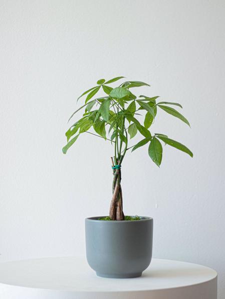 Braided Money Tree - Nouvelle - Medium