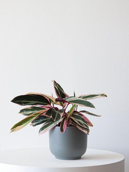 Magenta Triostar - Nouvelle - Medium