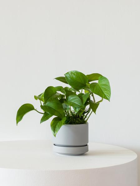 Jade Pothos - Scandinavian