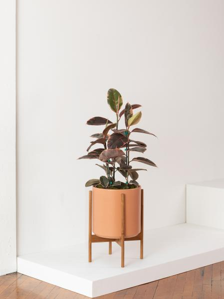 Pink Rubber Tree