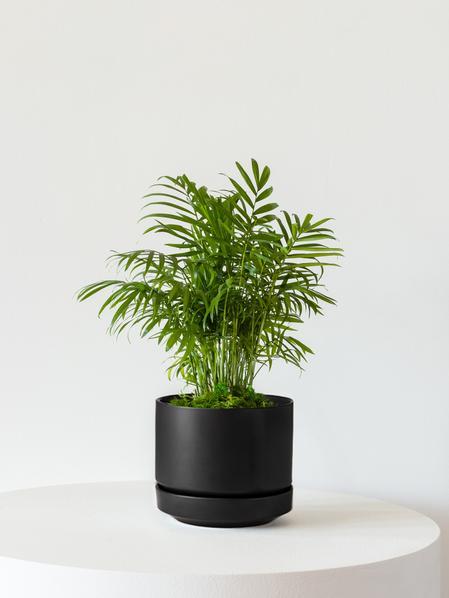 Parlor Palm - Scandinavian