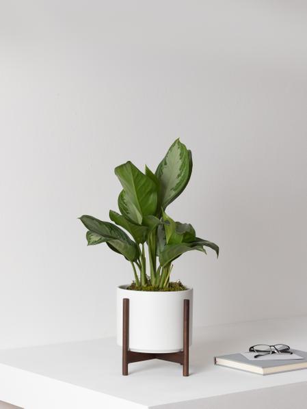 Silver Evergreen