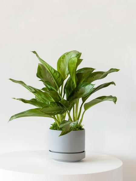 Silver Evergreen - Scandinavian
