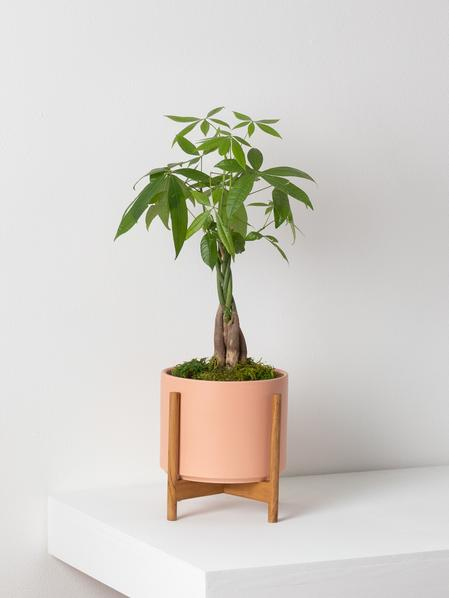 Braided Money Tree