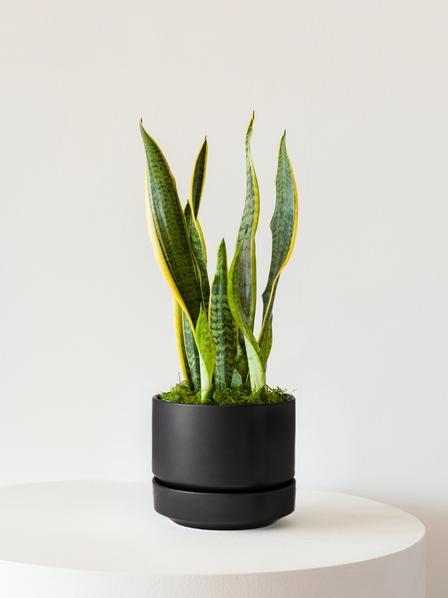 Snake Plant - Scandinavian