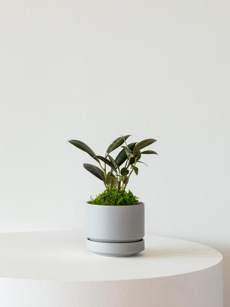 Rubber Plant - Scandinavian
