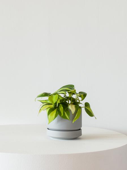 Philodendron Brasil - Scandinavian